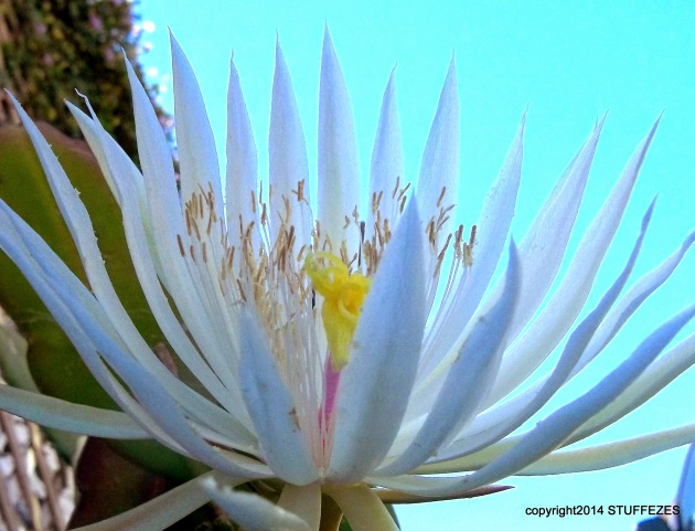 flat leaf cactus ' white flower